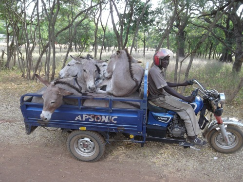 How many donkeys can you load into a Moto-king?